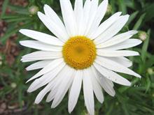 Daisy love.. #Spring10