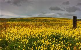 Mustard and Fiddleneck