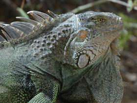Iguana