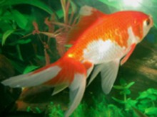 RedCap Goldfish