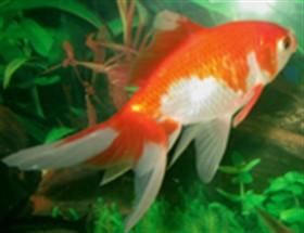 RedCap Goldfish