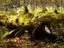 Forest Moss