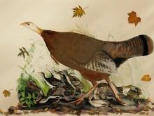 Thanksgiving Wild Turkeys LV