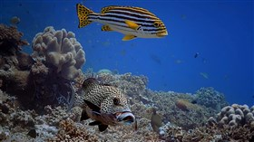 Spotted_Sweetlips_Reef_Fish